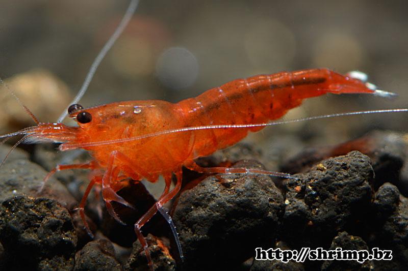 hybrid-shrimp-6