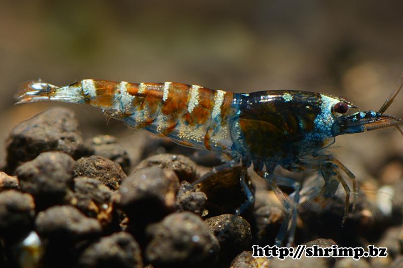 hybrid-shrimp-1