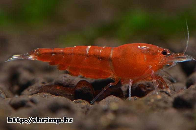 hybrid shrimp 36